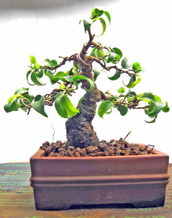 Ficus benjamina wired for training into a bonsai