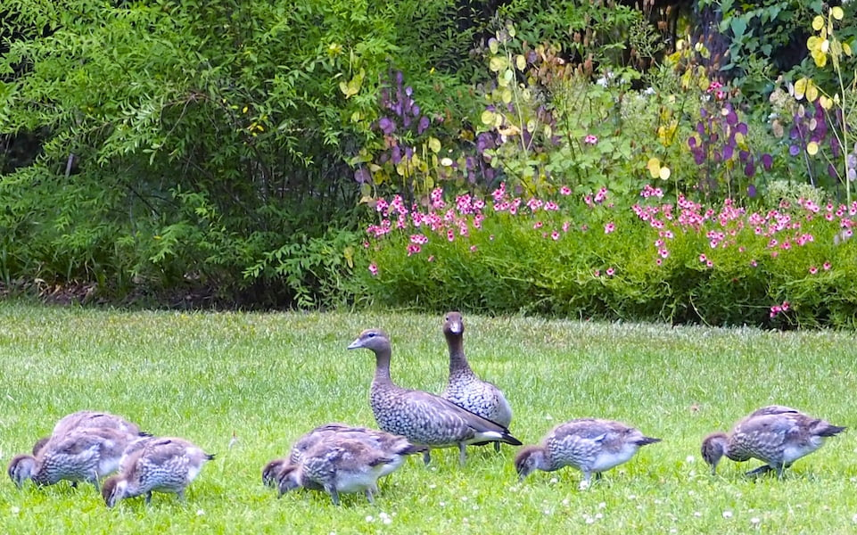 Our native wood duck family at three weeks of age, growing rapidly.