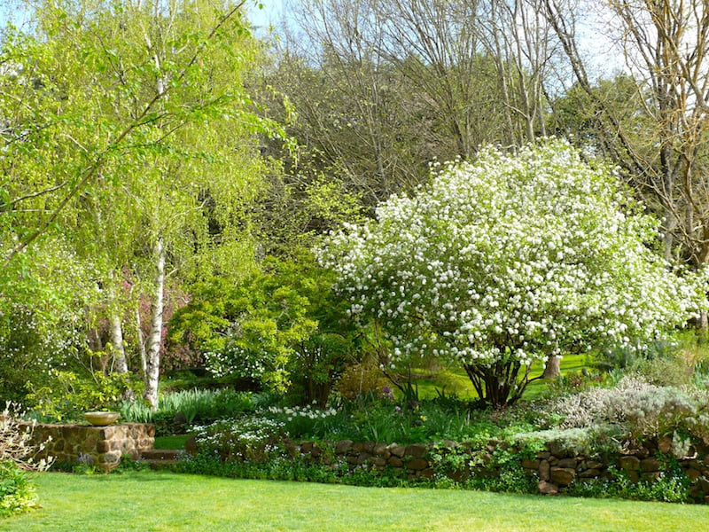 The early spring flowers of this Viburnum burkwoodii fill the garden with glorious fragrance