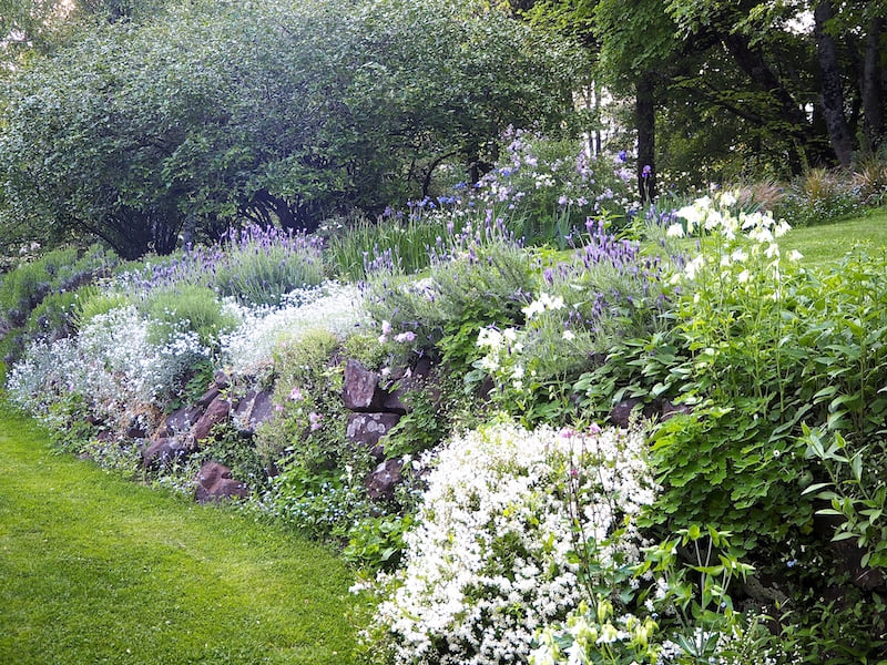 Later in spring Walling's favourite Lavendula stoechas jostles for space with aquilegias, Deutzia nikko, and old-fashioned ground covers such as snow-in-summer.