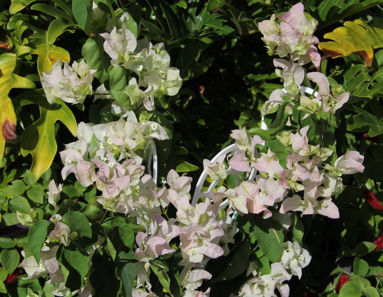 Bougainvillea 'Vera White' has white bracts tinged with shell pink