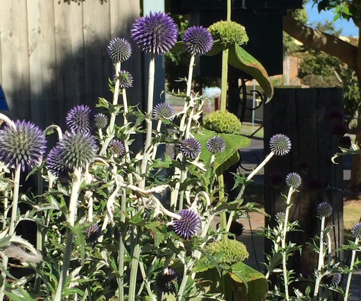 Echinops and phlomis