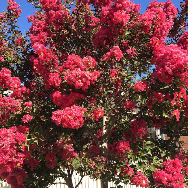Rich deep red crepe myrtle