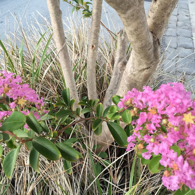 Crepe myrtle - trunk, branches, flowers