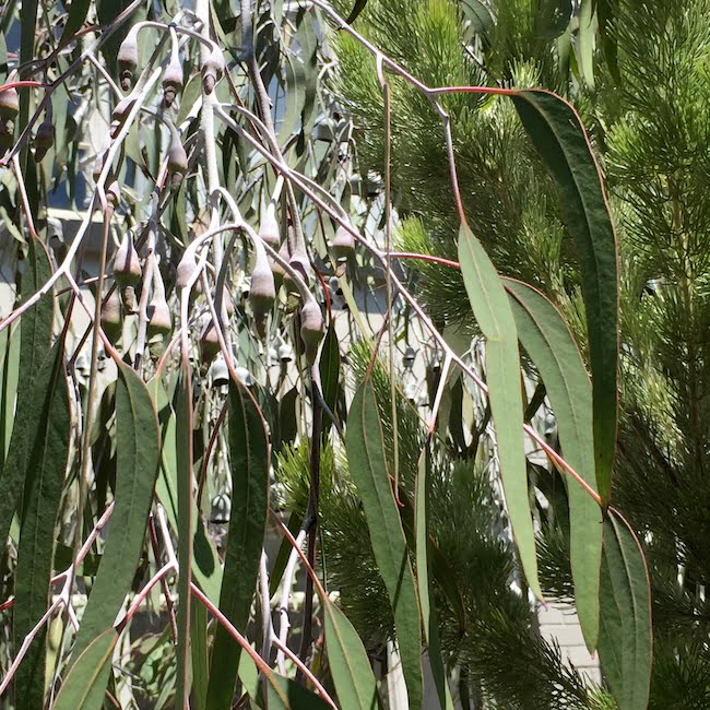 Eucalyptus caesia, with long leaves, oncoming buds and pine backdrop
