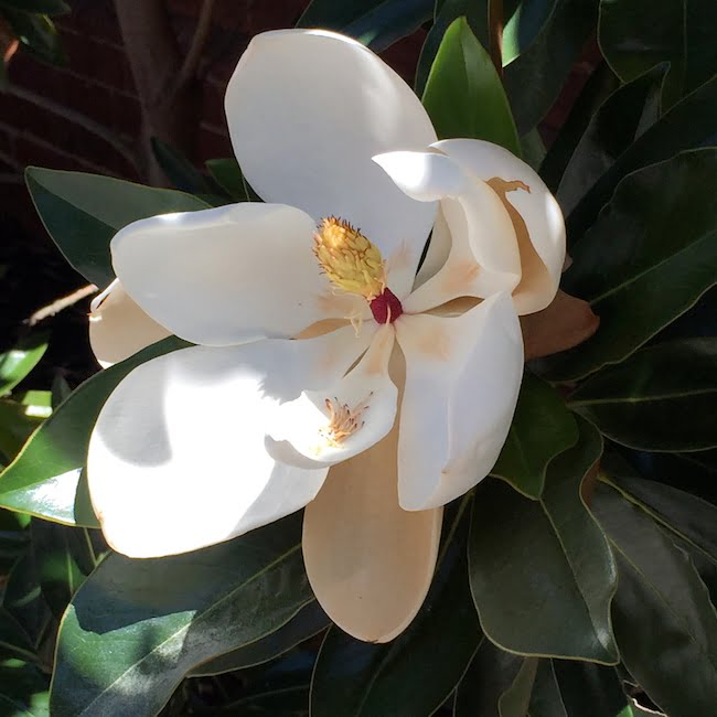 A perfect magnolia flower