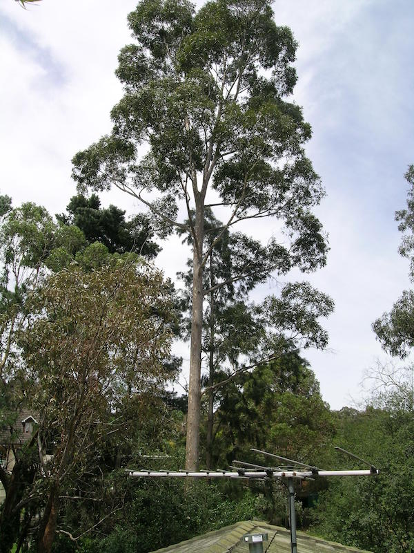 Corymbia maculata standing tall and strong