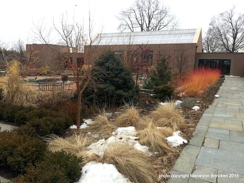Grasses, snow, Cornus sanguinea 'Midwinter Fire'