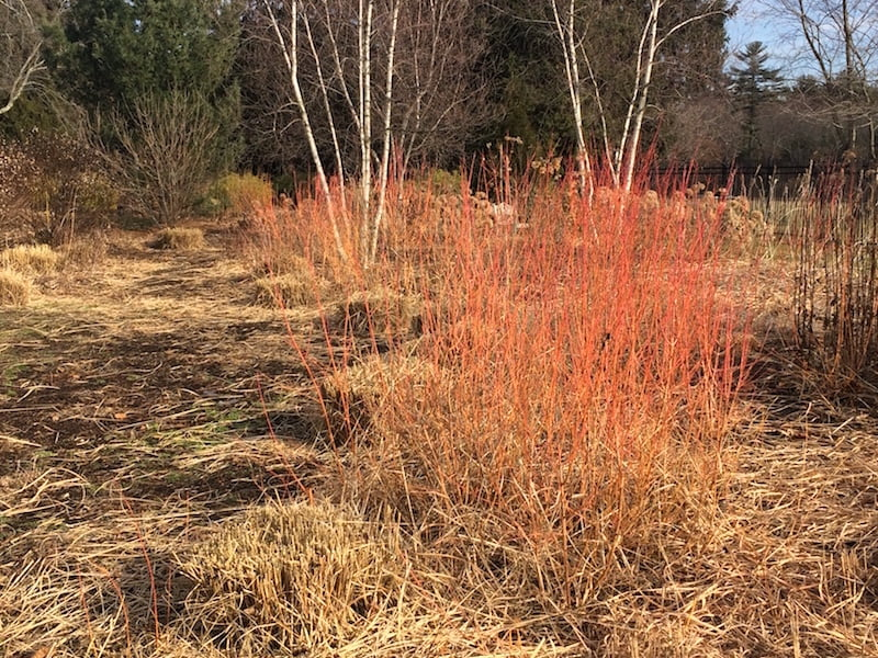"""Image a summer """"stream"""" of blue flowering geranium flowing thru the open space now framed by stems of Cornus sanguinea 'Midwinter Fire'"""
