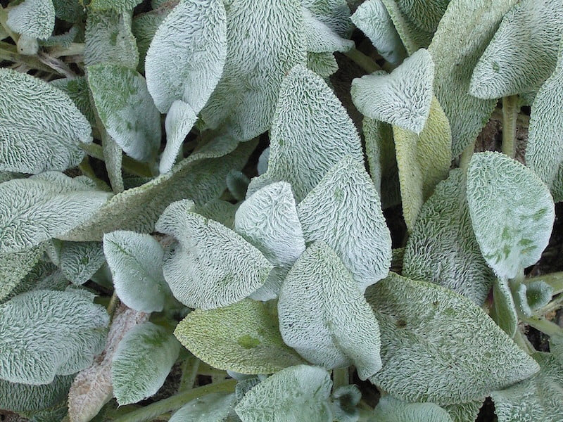 Lambs ears, Stachys byzantina, is a plant with hairy grey leaves that cannot stand high heat mixed with humidity. Photo by GFDL