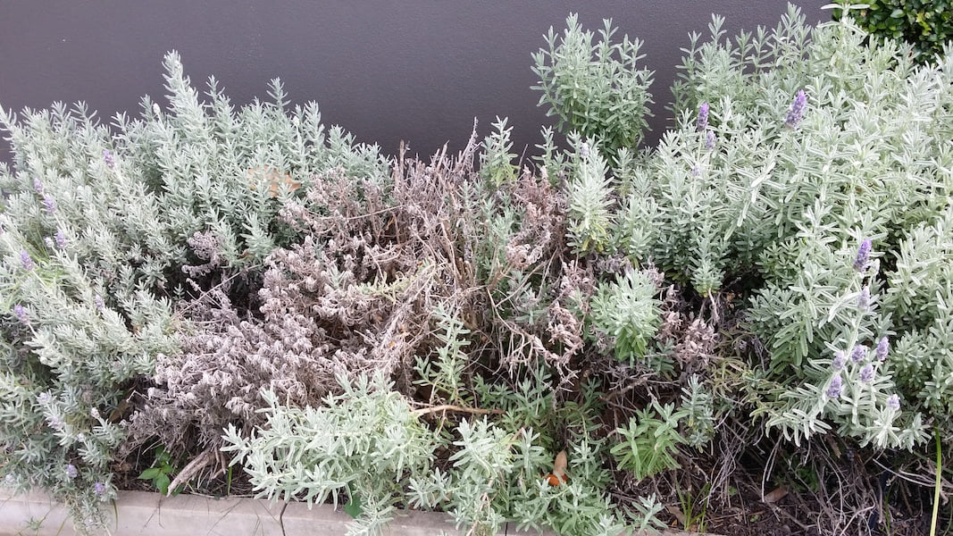 Lavender can't bear the subtropical humidity