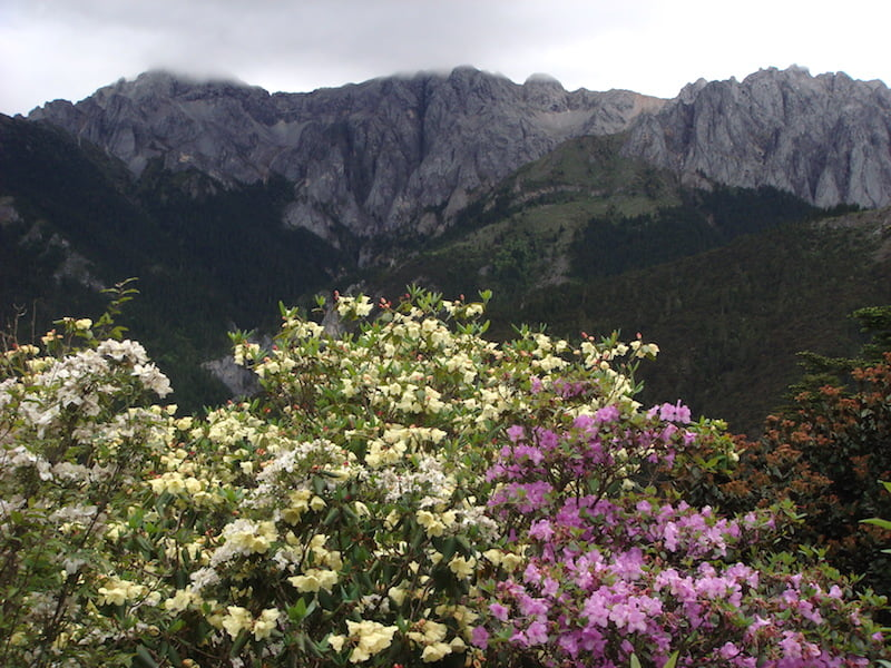 Rhododendron growing wild in Yunnan China