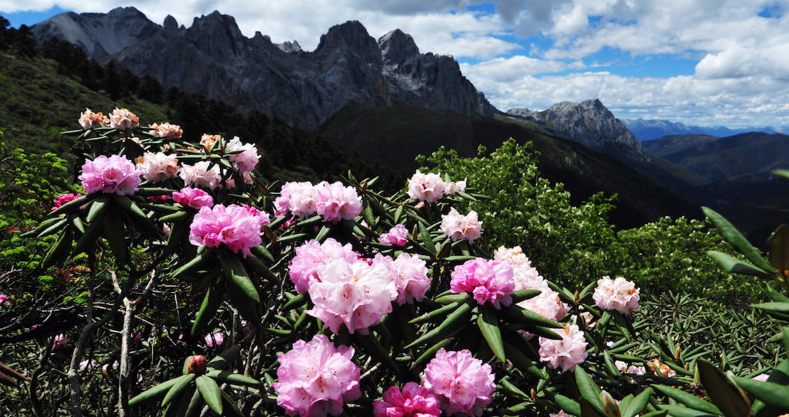 Rhododendron in Yunnan