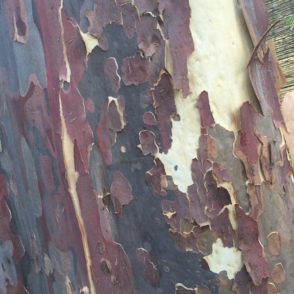 Spotted Gum bark
