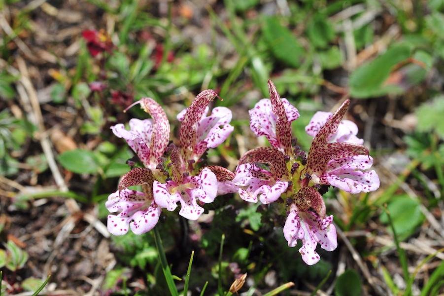Yunnan wildflower2