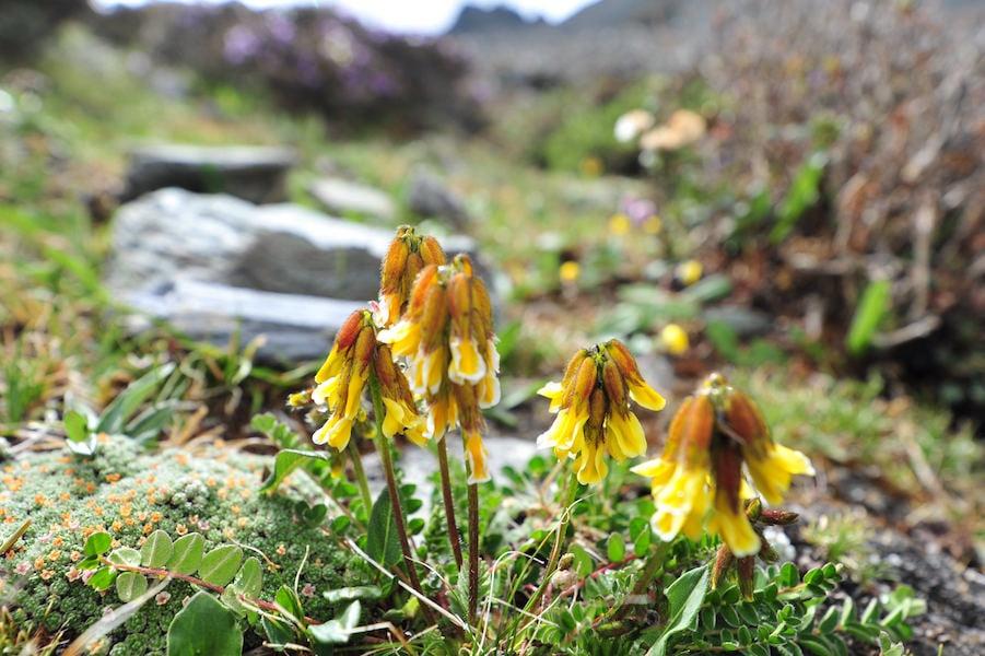 Yunnan wildflowers1