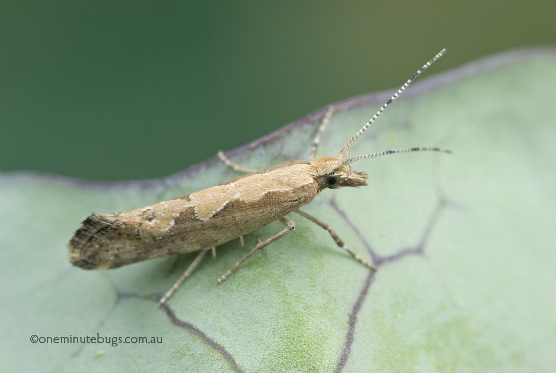Cabbage moth (Plutella xylostella)
