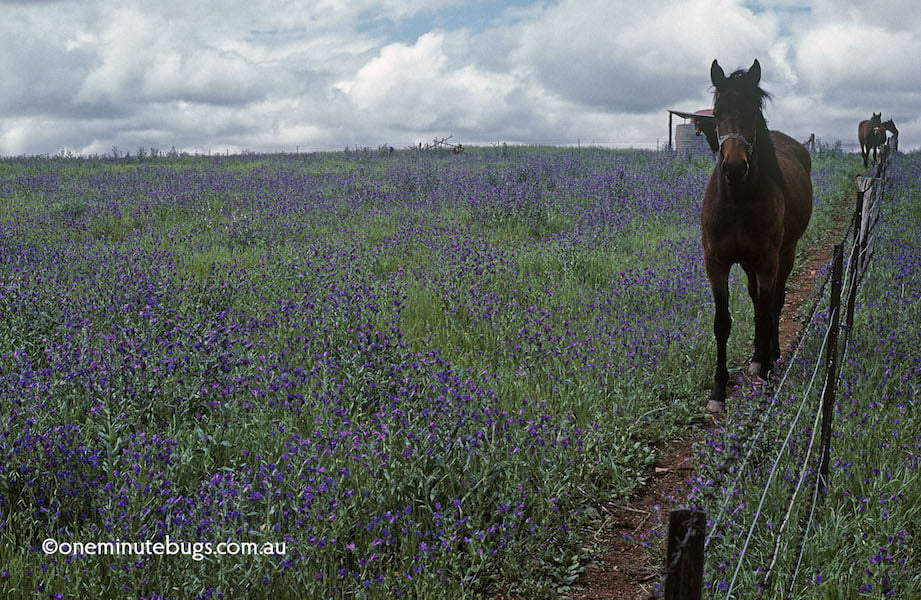 Echium plantagineum choking a horse paddock