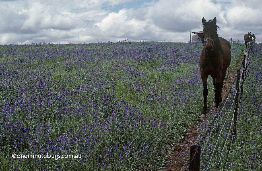 Echium plantagineum choking a horse paddock