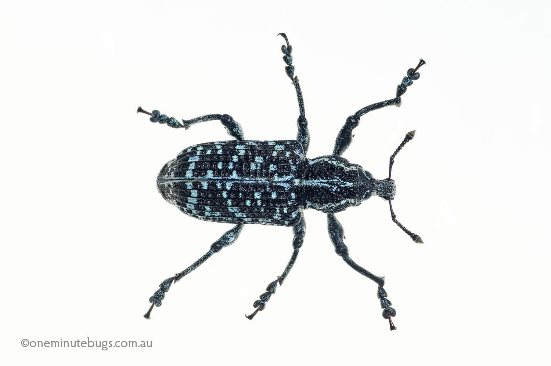 Botany Bay weevil (Chrysolopus spectabilis)