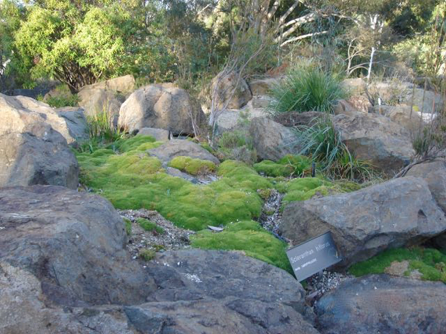 A mix of pebbles, rocks and Schlerantha ground cover makes an effective mulch. Photo of the Australian National Botanic Gardens in Canberra, by Heather Miles.
