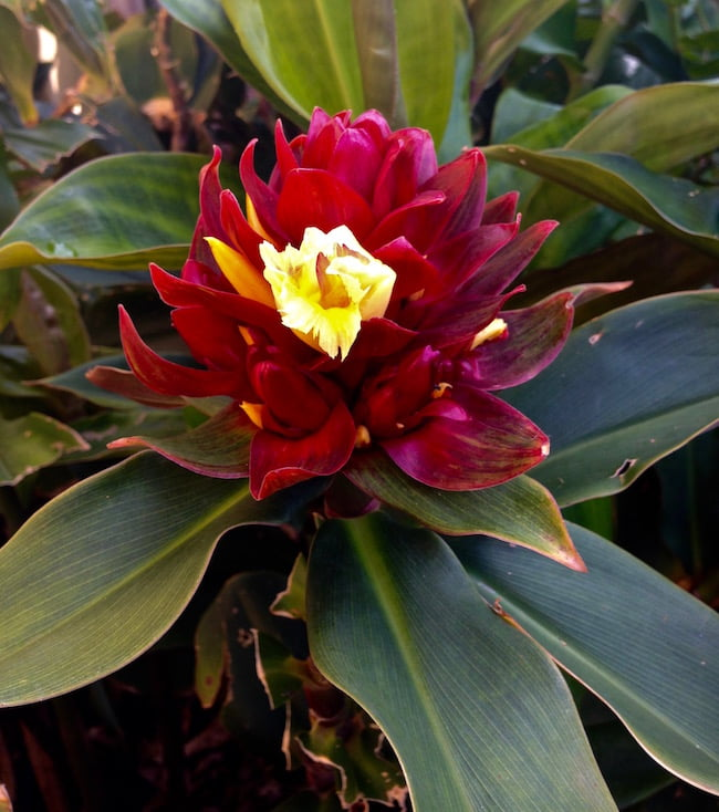Costus 'Oxley Ruby'