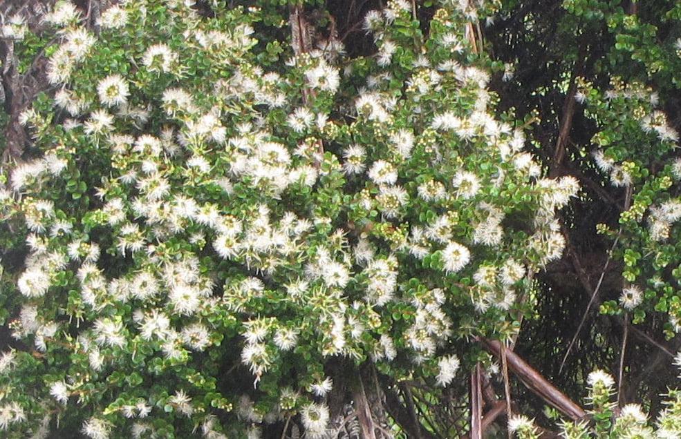 White flowers on Metrosideros perforata