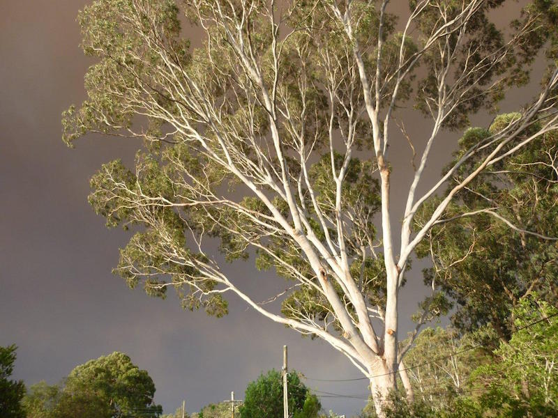 Jeff's handy mulch source – his neighbour's 40 year-old Lemon-scented Gum (Corymbia citriodora) which drops bark and leaves in summer, ready for collection and spreading on the garden. Photo: Jeff Howes