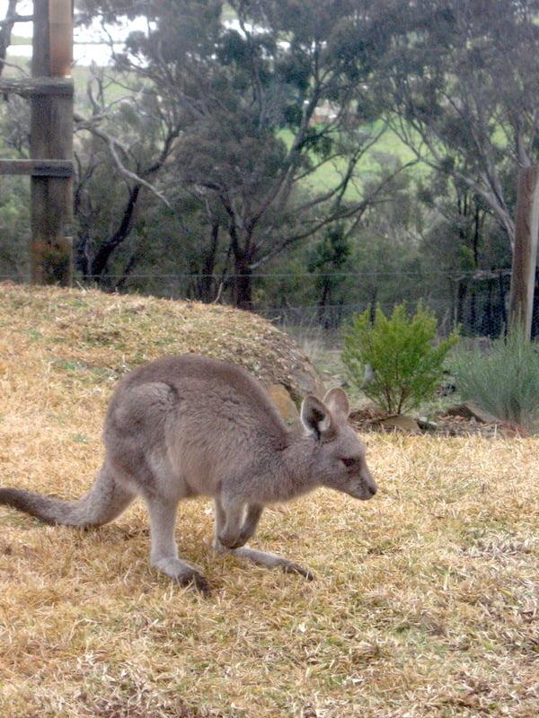 Kangaroo in my garden in winter - note dead lawn, it loves my plants!