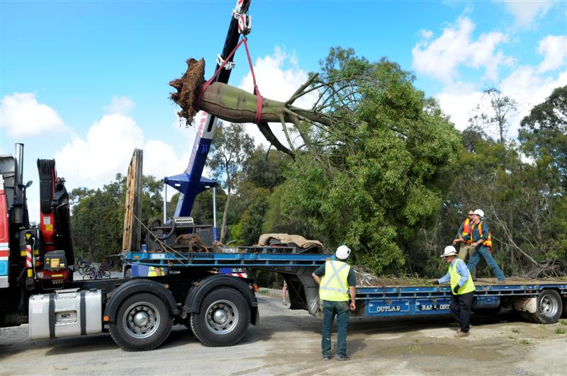 Lifting the Queensland Bottle Tree onto a semi-trailer. Photo courtesy of Royal Botanic Gardens Victoria
