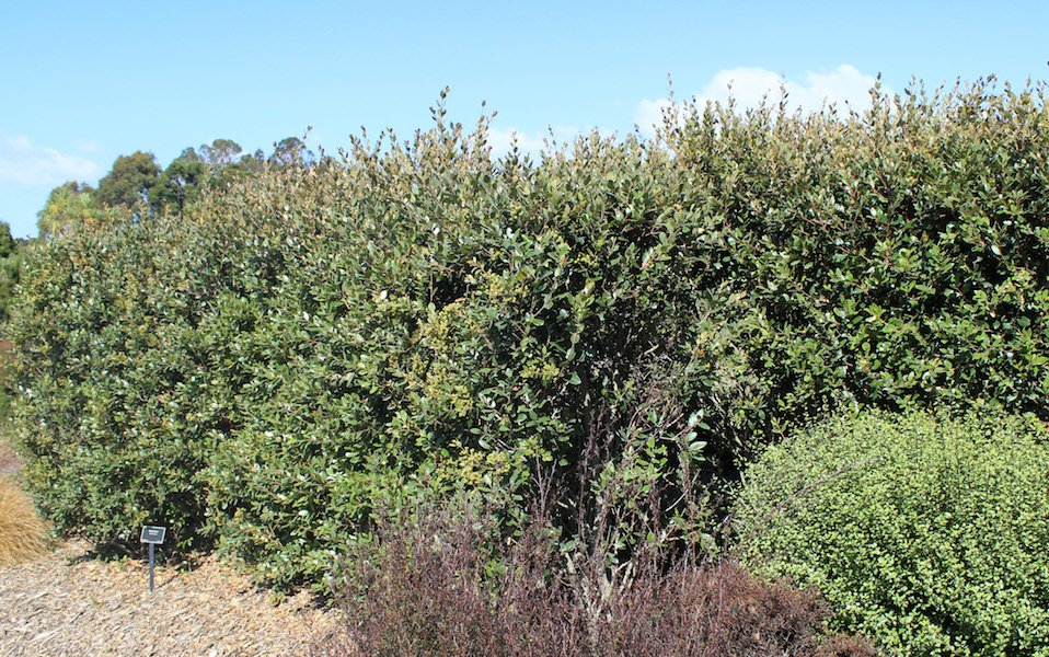 Metrosideros robusta hedge