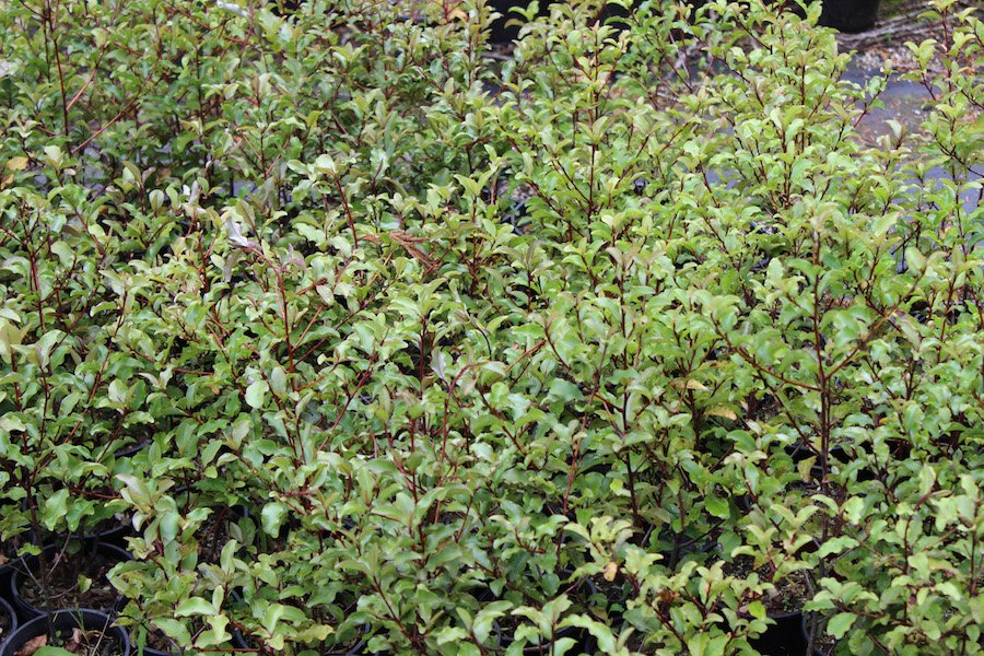 Myrsine australis