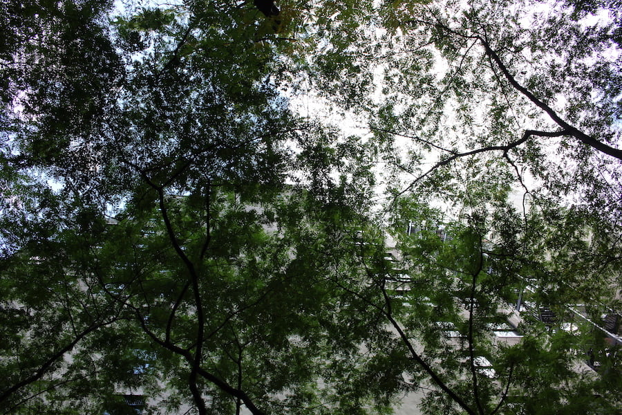 Paley Park NYC - looking up through the Gleditsia canopy