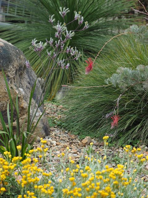 Pebble mulch creates a healthy environment for the Xanthorrhoea (Grass Tree), Anigozanthos sp. (Kangaroo Paw) and Chrysocephalum apiculatum. Photo: Heather Miles