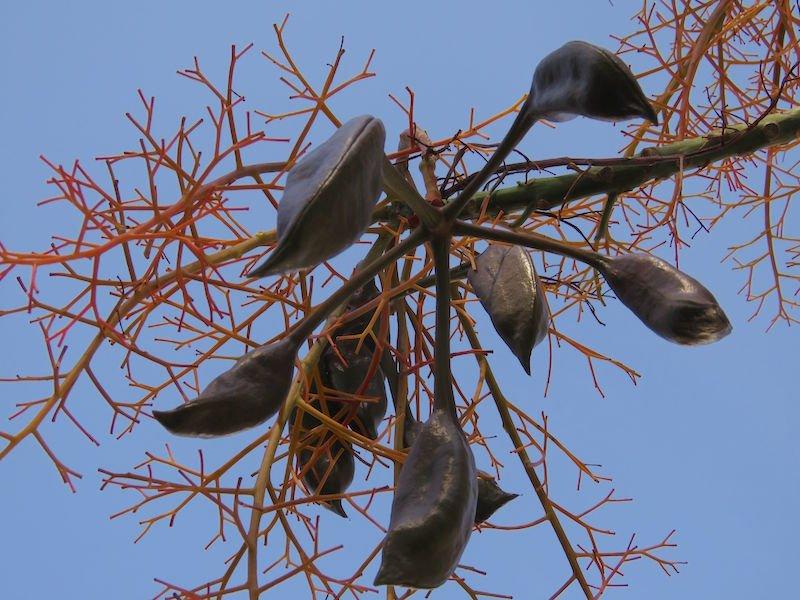 Is this australia s most huggable tree gardendrum
