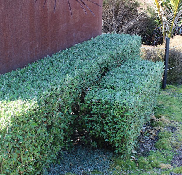 Corokia Geentys Green as a tightly clipped low hedge