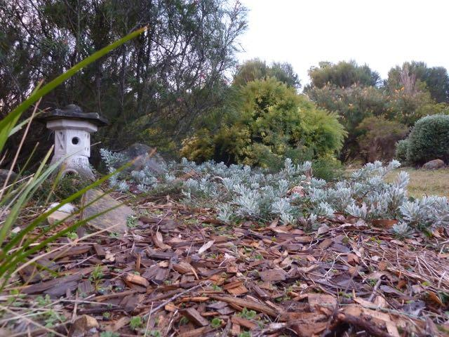 Woodchip mulch providing soil cover and nourishment for Eremophila 'Kalbarri Carpet'. Photo: Heather Miles