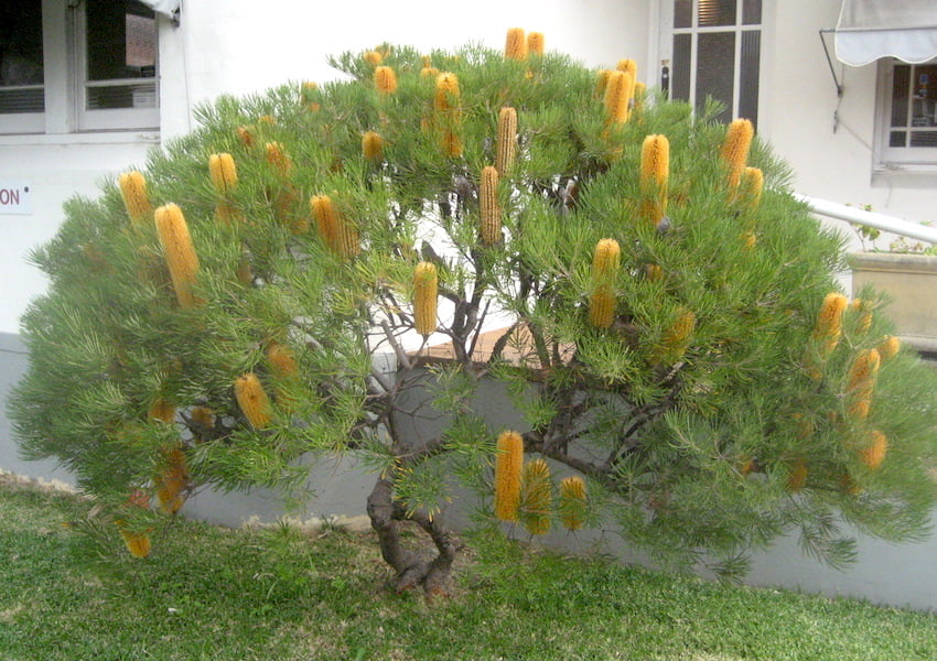Banksia spinulosa ssp. spinulosa, in the front garden of Kingsgrove Dental Clinic, NSW, photo by Karlo Taliana