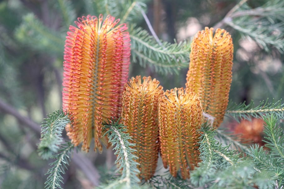 Banksia ericifolia 'Bulli Baby', in my garden, photo by Karlo Taliana