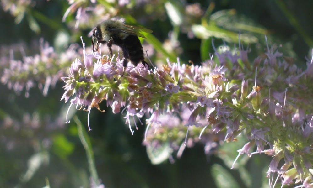 Bee on Agastache 'Blue Fortune'