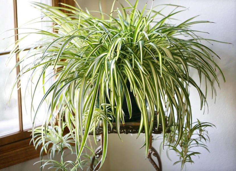 Chlorophytum cosmosum - variegated spider plant