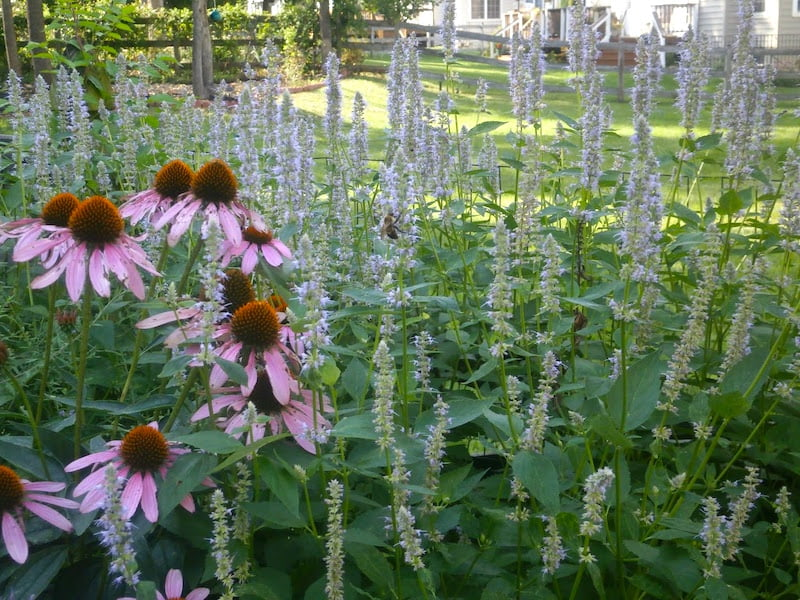 Echinacea with bee-popular Agastache 'Blue Fortune'