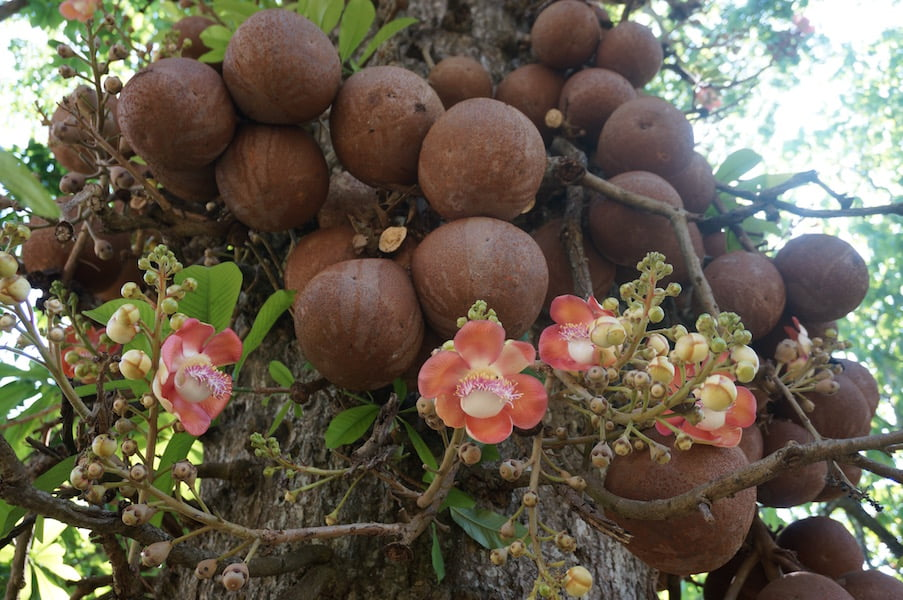 Mix of fragrant flowers and giant fruit on the cannonball tree