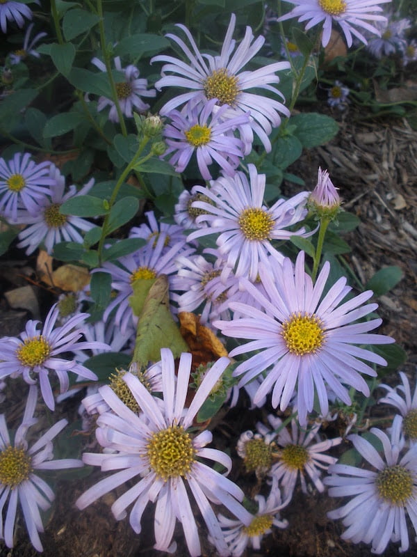 Monch asters