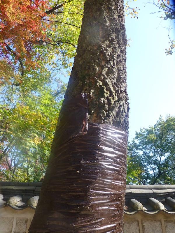 Wrapped oak in treatment