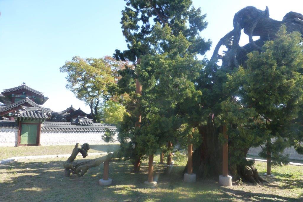 A propped-up ancient Juniper tree