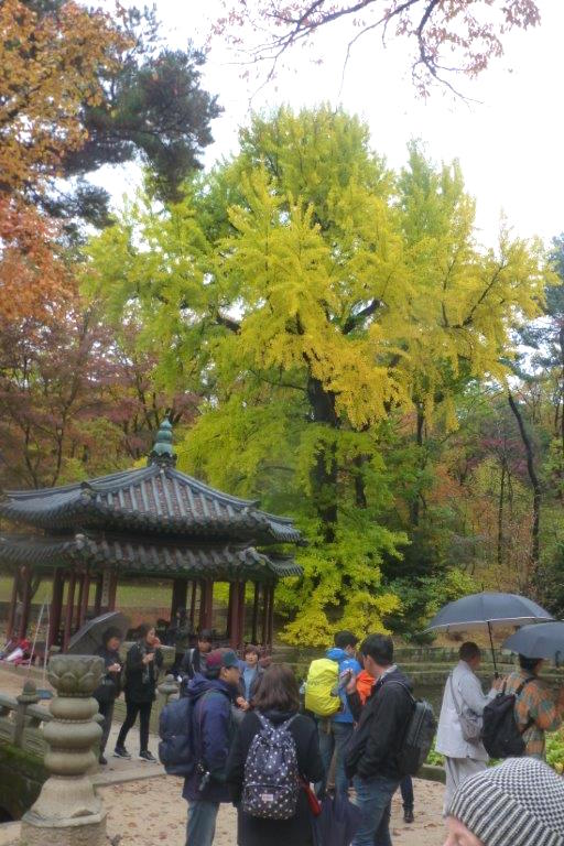 Gwallemjeong pavilion and ginkgo