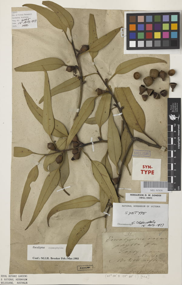 Voucher specimen, Eucalyptus cosmophylla or Cup Gum. Photograph courtesy of the Royal Botanic Gardens Victoria.