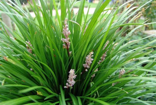 Liriope muscari - lily turf