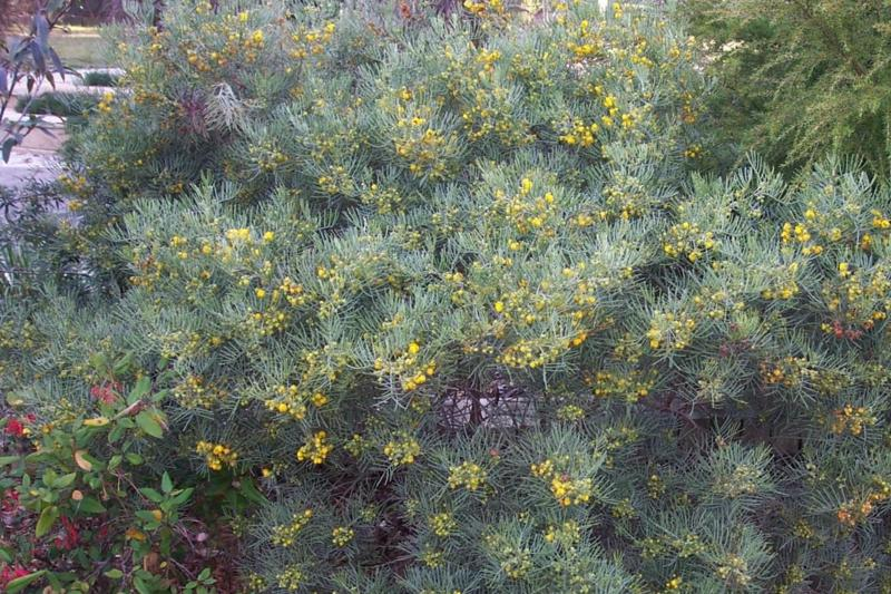 Senna artemisoides, with its lace-like foliage and bright yellow pea-flowers.